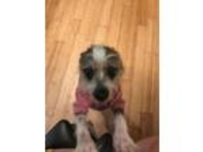 Adopt Zelda a Chinese Crested Dog
