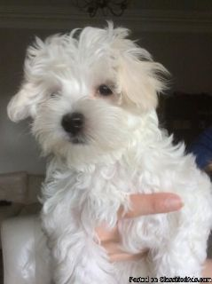Only One Remaining Female Maltipoo Pra Clr Parents