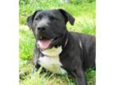 Adopt Kindred a Black Labrador Retriever