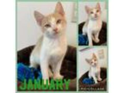Adopt January a Orange or Red Tabby Domestic Shorthair (short coat) cat in