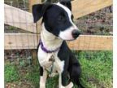Adopt Sophie a Black - with White Border Collie dog in Monroe, GA (24849223)