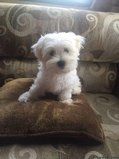 Bichon Frise Purebred Beautiful Puppies