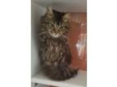 Adopt Amaretto a Brown or Chocolate Maine Coon / Domestic Shorthair / Mixed cat