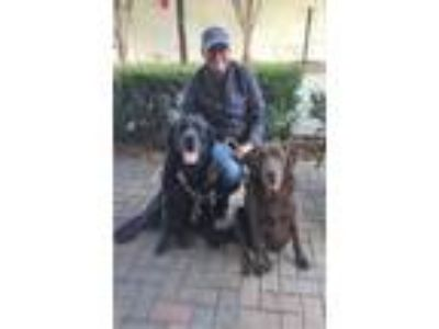 Adopt Bootsie and Sampson a Labrador Retriever