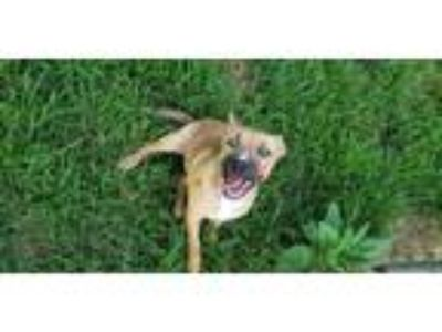 Adopt Xena a Tan/Yellow/Fawn Shepherd (Unknown Type) / Mixed dog in Walpole