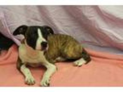 Adopt Candy a Brown/Chocolate American Pit Bull Terrier / Mixed dog in