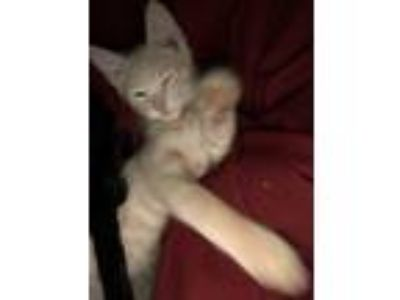 Adopt Kitten-3 a Orange or Red American Shorthair / Mixed cat in Grand Bay