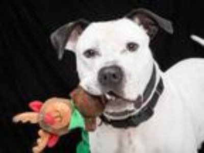 Adopt FARLEY a Pit Bull Terrier / Mixed dog in Franklin, TN (25292983)