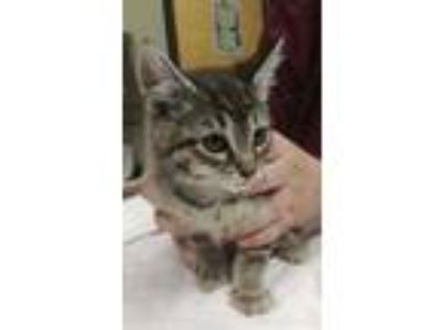Adopt Fran a Tan or Fawn Domestic Shorthair / Domestic Shorthair / Mixed cat in