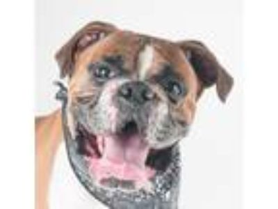 Adopt Ramon a Tan/Yellow/Fawn Boxer / Mixed dog in San Francisco, CA (25267030)