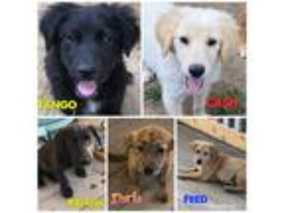 Adopt Lab Mix Puppies a Tan/Yellow/Fawn Labrador Retriever / Mixed dog in