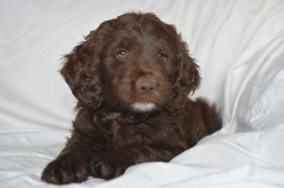 Poodle (Miniature)-Brittany Mix PUPPY FOR SALE ADN-87301 - Brittnepoo