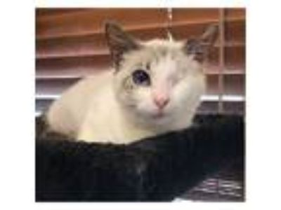 Adopt Mira a Siamese, Domestic Short Hair