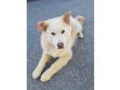 Adopt Leo a Great Pyrenees, Chow Chow