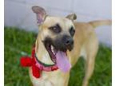 Adopt HONEY a Black Mouth Cur