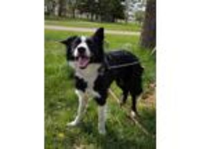 Adopt Tipsy a Black - with White Border Collie / Mixed dog in Minot