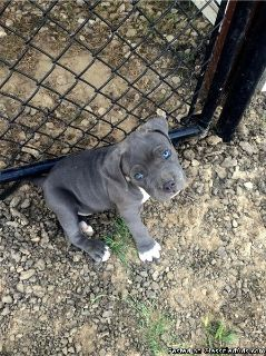 Must See! Blue Nose Pitbull Puppies