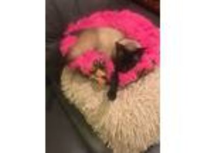 Adopt Buddha a Tan or Fawn (Mostly) Siamese cat in Poughkeepsie, NY (25507000)