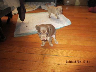 Miniature Pinscher PUPPY FOR SALE ADN-81326 - Miniature Pinscher puppies for Sale