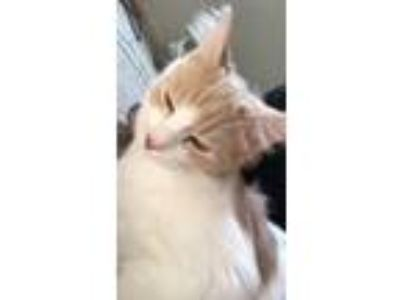 Adopt Marshmallow / Smores a Calico or Dilute Calico Calico / Mixed cat in