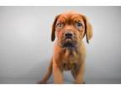 Adopt Pirate a Mastiff, Mixed Breed