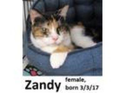 Adopt Zandy a Domestic Short Hair