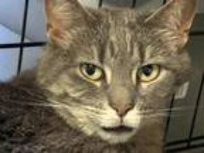 Adopt Robinson a Domestic Shorthair / Mixed (short coat) cat in Windsor