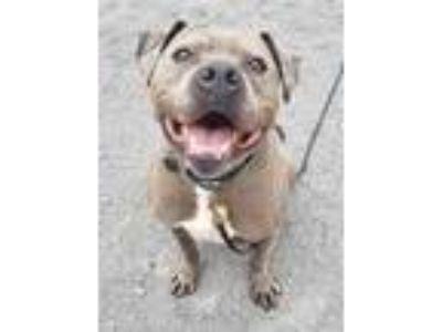 Adopt Bobo a Gray/Blue/Silver/Salt & Pepper American Pit Bull Terrier / Mixed