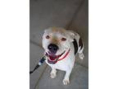Adopt Spots a Staffordshire Bull Terrier / Mixed dog in Claremore, OK (25929646)
