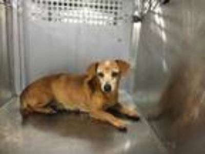 Adopt 41967709 a Brown/Chocolate Dachshund / Mixed dog in Fort Worth