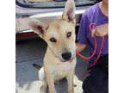 Adopt Chevy a Tan/Yellow/Fawn Shepherd (Unknown Type) / Husky / Mixed dog in San