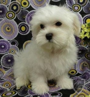 AKC T-cup Maltese puppies for sale!