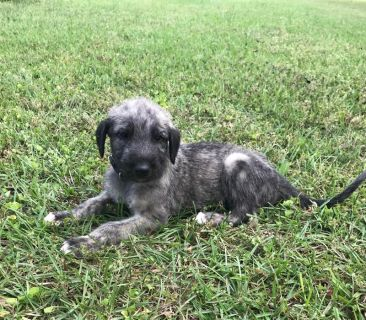 Irish Wolfhound PUPPY FOR SALE ADN-76502 - Irish Wolfhounds