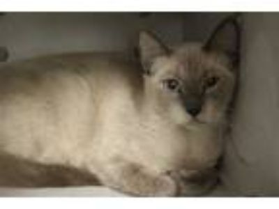 Adopt CAT3 a Brown or Chocolate (Mostly) Siamese / Mixed (short coat) cat in