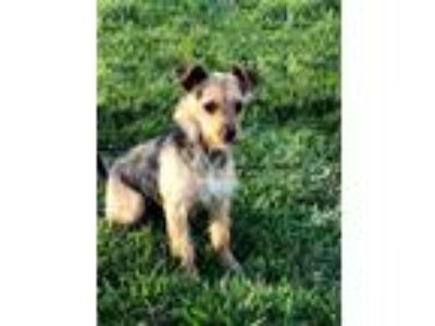 Adopt CASSIE a Black - with Tan, Yellow or Fawn Wirehaired Fox Terrier / Mixed