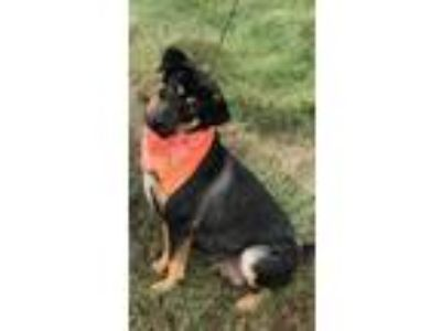 Adopt Brownie a Black - with Tan, Yellow or Fawn Rottweiler / Shepherd (Unknown