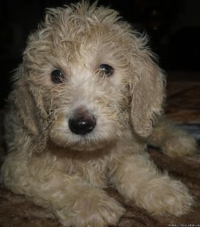 ENGLISH GOLDENDOODLE PUPPIES!
