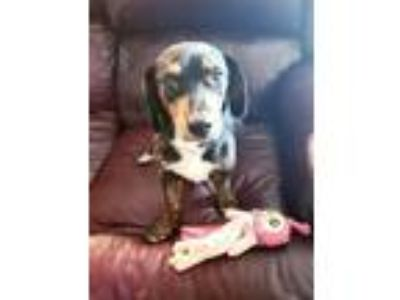 Adopt Oscar a Black - with Tan, Yellow or Fawn Dachshund / Mixed dog in