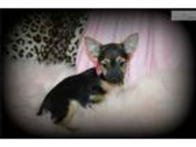 Mya Adorable Little Girl Chorkie