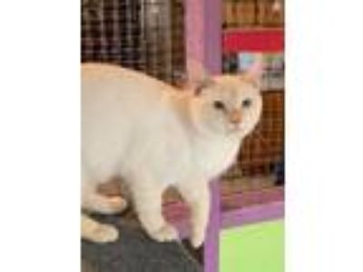 Adopt Shang a Domestic Short Hair