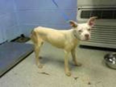 Adopt SNOWFLAKE a Pit Bull Terrier, Mixed Breed