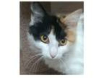 Adopt Zoee a Calico or Dilute Calico Domestic Longhair (long coat) cat in Ozark