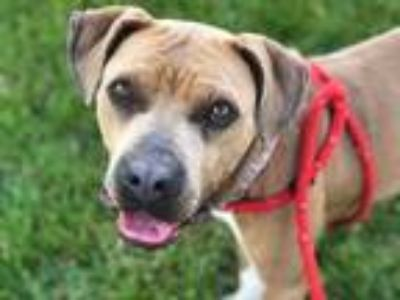 Adopt Linaria a Tan/Yellow/Fawn American Pit Bull Terrier / Mixed dog in Kansas