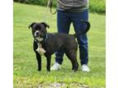 Adopt Chloe a Black American Pit Bull Terrier / Mixed dog in Clearfield