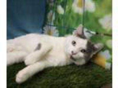Adopt Neo a White Domestic Shorthair / Domestic Shorthair / Mixed cat in