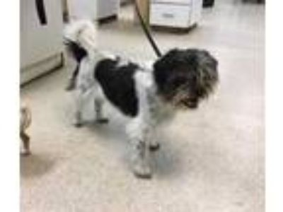 Adopt Dog a White - with Black Shih Tzu / Mixed dog in Jurupa Valley