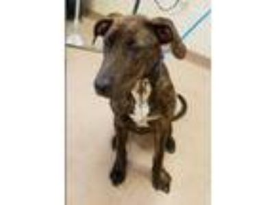 Adopt Shep a Dutch Shepherd, Hound