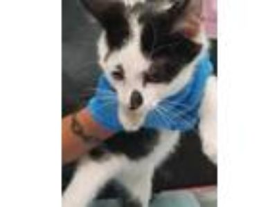 Adopt Blake a White Domestic Shorthair / Domestic Shorthair / Mixed cat in