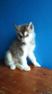 the siberian husky puppies for sale