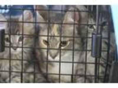 Adopt BECKLEY a Gray, Blue or Silver Tabby Domestic Shorthair / Mixed (short